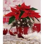 Пуансеттия или Молочай красивейший – самый новогодний цветок в мире
